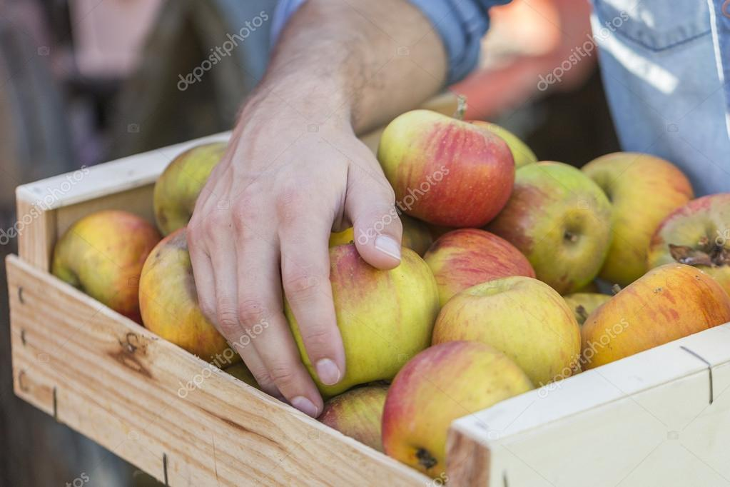 Young couple picking organic Apples into the Orchard.