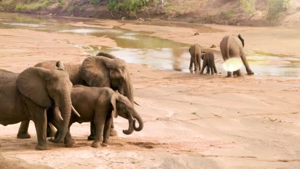 African Elephants with a cute baby, drink and play in the water excitedly as a once dry riverbed flows after drought. Seen on African Safari.