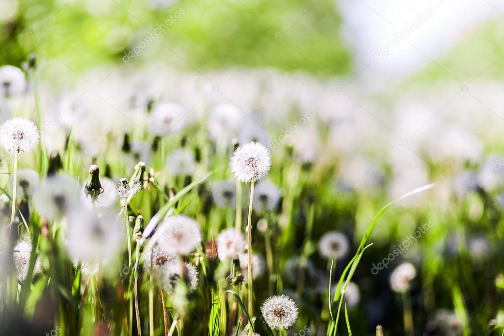 Dandelions flowers field