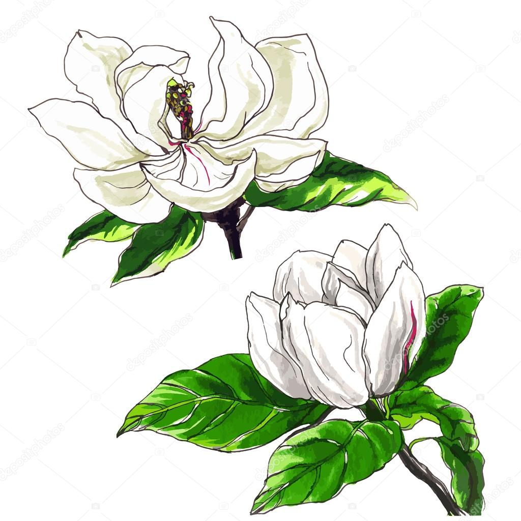decorative magnolia flower set stock vector magnolija three rh depositphotos com magnolia clip art free magnolia blossom clipart