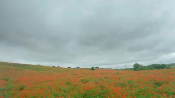 drón gyorsan és manőverezhetően repül át egy virágzó mák mező