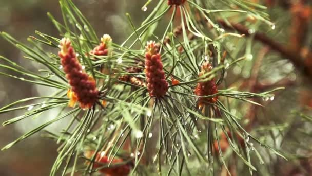 Few pine cones on the fir branch after the rain
