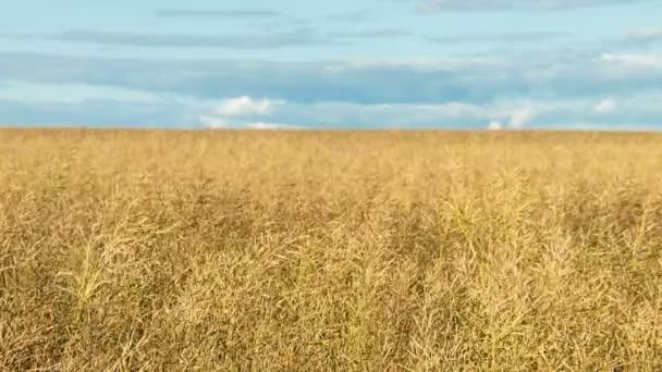A large field of ripe wheat