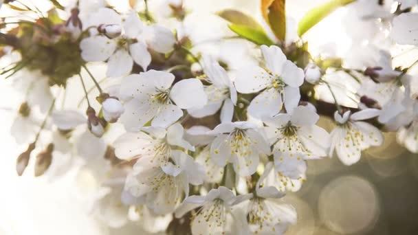 Gyönyörű fehér virág, a cseresznyefa ága, dof