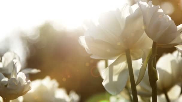 Velké sněhobílé tulipány proti západu slunce, zblízka