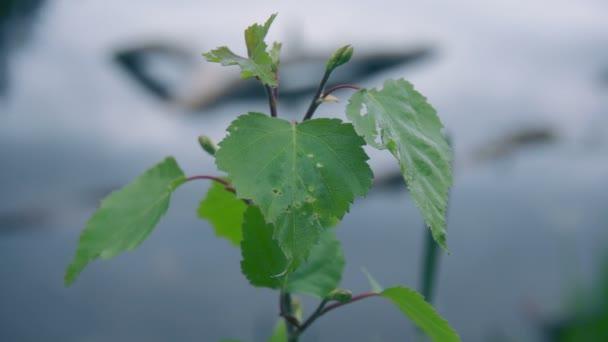 List linden proti vodě