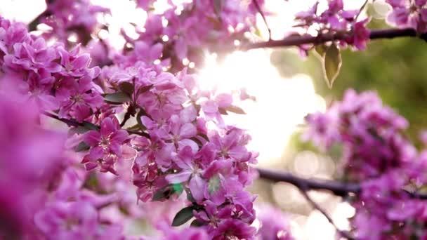 Sakura Cherry Blossoms proti slunci