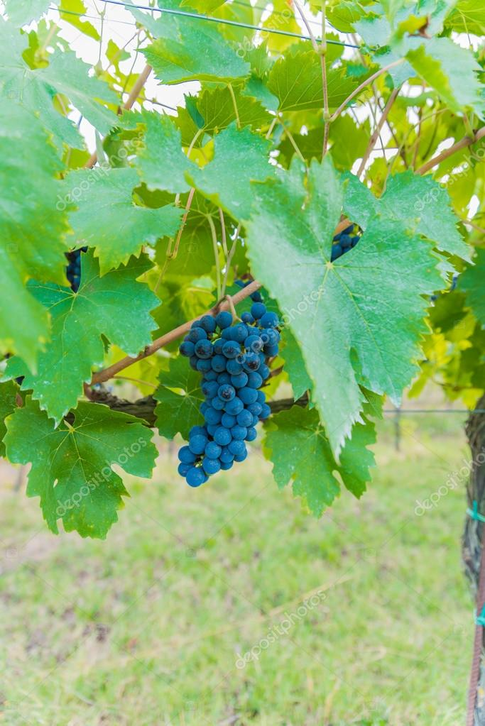Bacchus, The clusters of grapes