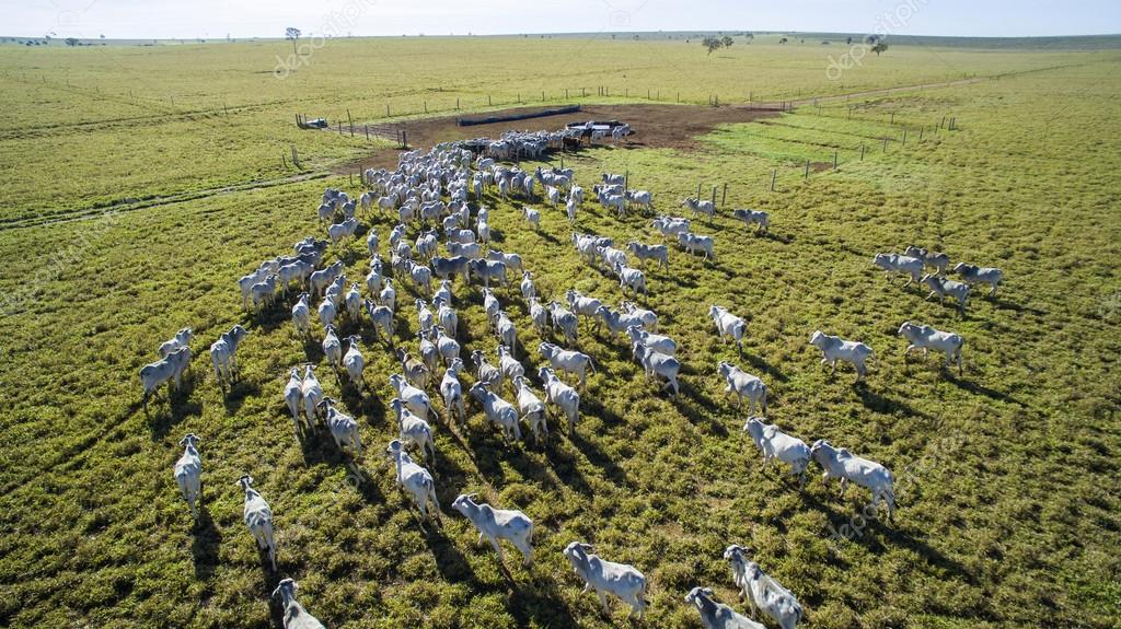 Cattle on pasture in the state of mato grosso in Brazil. July, 2