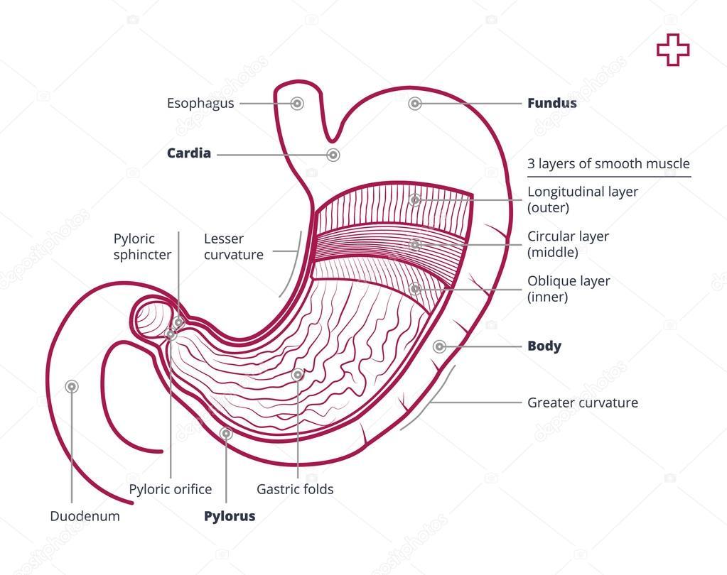 Anatomía del estómago con la descripción — Archivo Imágenes ...