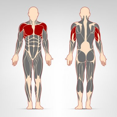 Pectoralis, deltoid, and triceps muscles