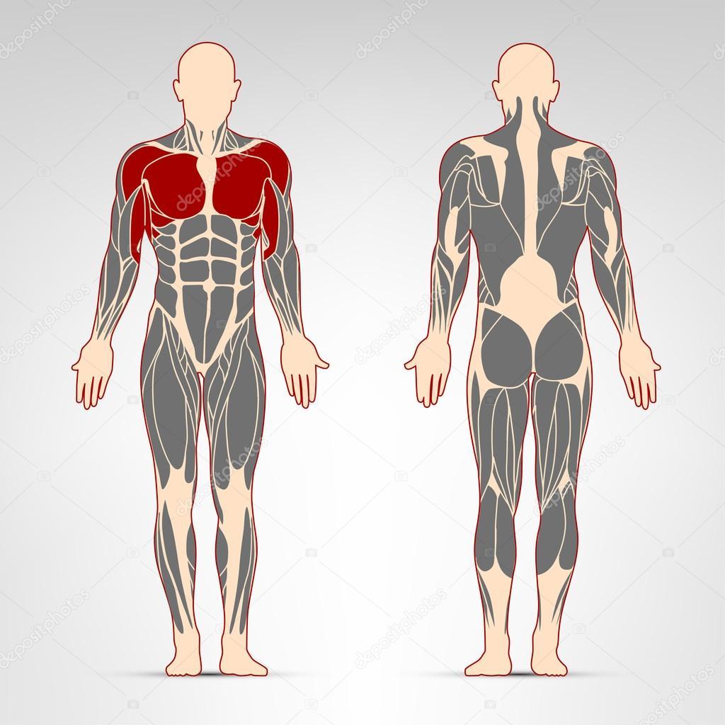 Músculos pectoral y deltoides — Archivo Imágenes Vectoriales ...