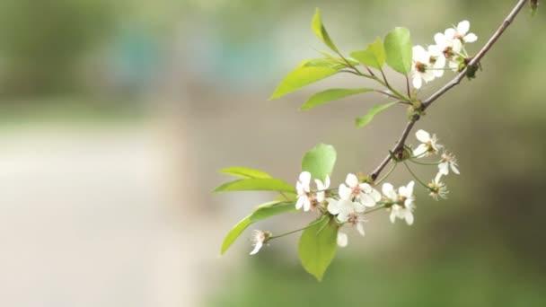 Třešňové stromy, kvetoucí na jaře. Probuzení přírody. Ovocné zahrada v květu