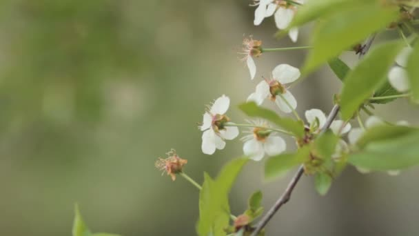 Tavasszal virágzó cseresznyefák. Természet ébredés. Blossom udvarában