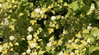 Flowering shrubs white flowers stock video andrev61 113491758 flowering shrubs white flowers mightylinksfo