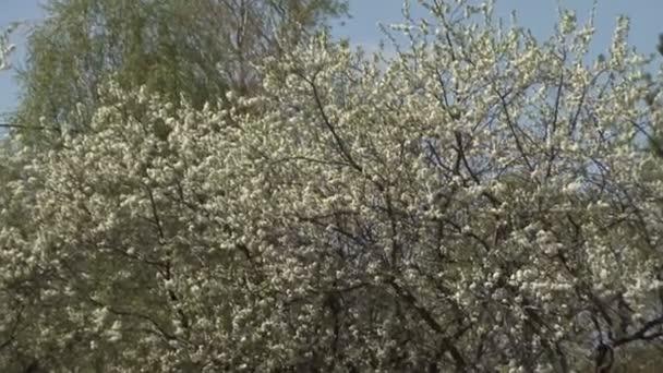 Flowering Shrubs White Flowers Stock Video Andrev61 113491736