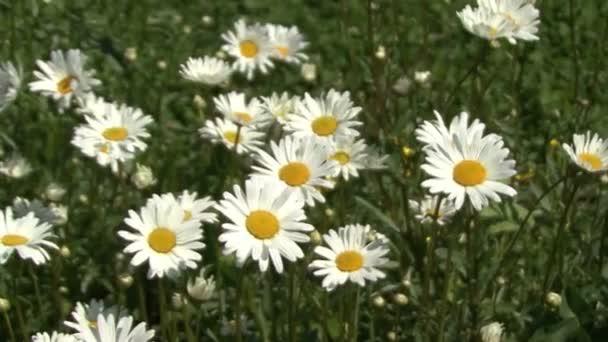Blooming daisies. Moving camera