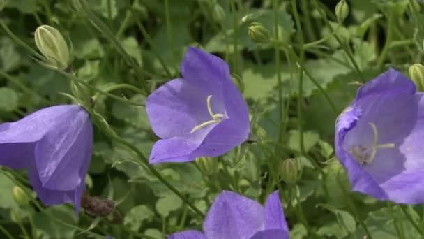 Blue flowers campanula