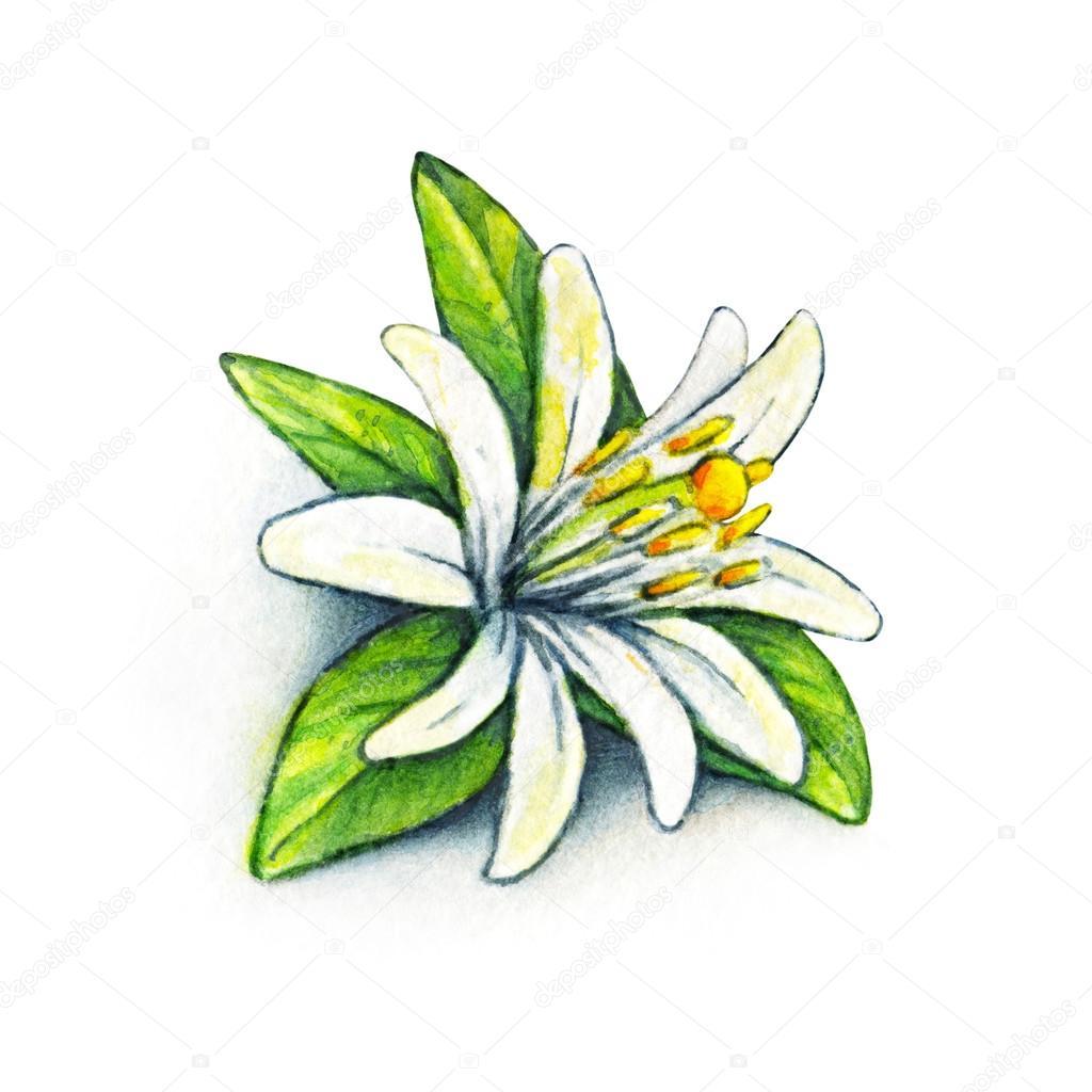Blanca flor naranja de la fruta con hojas de color verde. Flor de ...