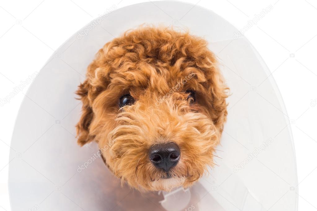 close up de cachorro poodle triste com cone protetor coleira no pesco o stock photo thamkc. Black Bedroom Furniture Sets. Home Design Ideas