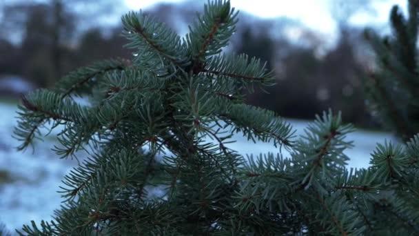 Fenyőágak havas téli háttérben