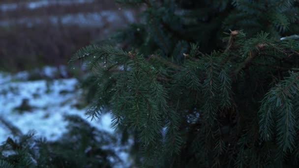 Fenyő ágak télen hideg téli napon