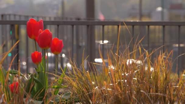 Piros tulipán növekszik a város központjában