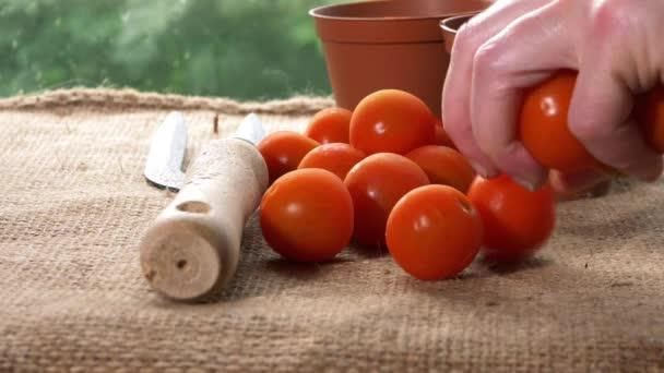 Gardener with fresh red cherry tomatoes