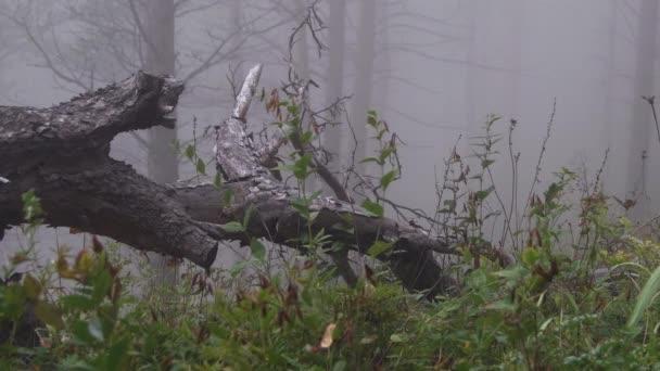 Alter Stamm liegt im nebligen Wald. Nebel zwischen Kiefern.