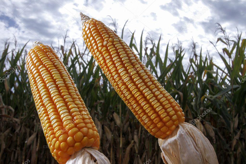 Видео секс с початком кукурузы опускает