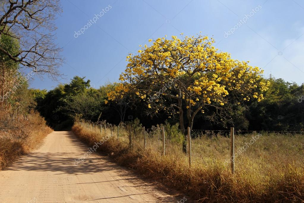 Flowery yellow ipe tree on the road