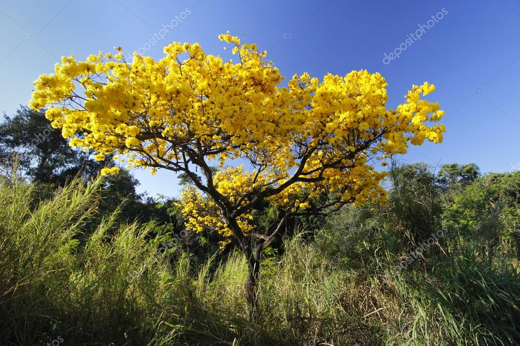 Flowery yellow ipe tree in the woods