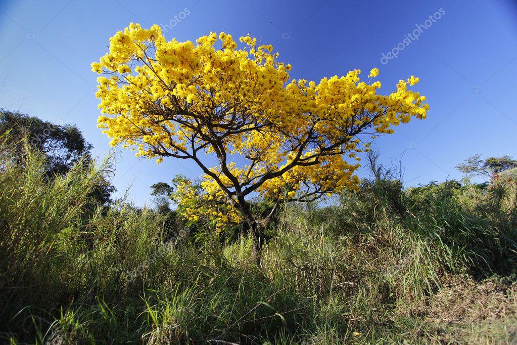 Flowery yellow ipe tree in the woods