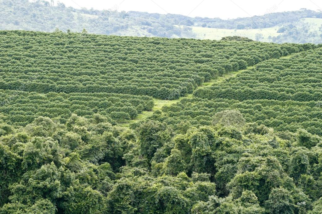 Farm coffee plantation in Brazil