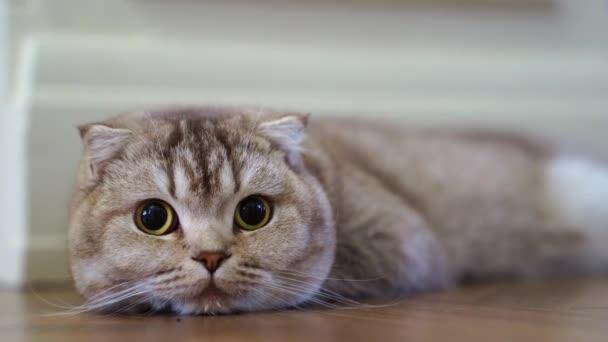 egy szürke telivér macska szájkosarát közelről. A szemek figyelnek valamit..