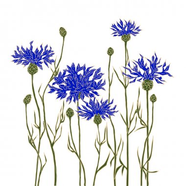 Cornflowers on a white background. Hand-drawn vector illustration.