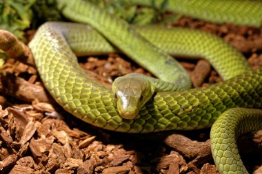 Snake in the terrarium - Green rat snake