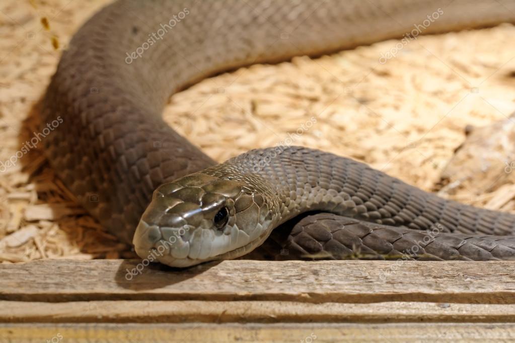 snake in het terrarium - zwarte mamba — stockfoto © guapofreak