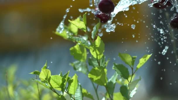 Spritzende Kirschen und Wasser