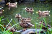 Group of wild ducks on pond