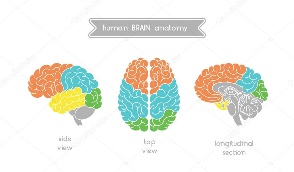 Anatomía del cerebro set 1 — Vector de stock © shopplaywood #108288172