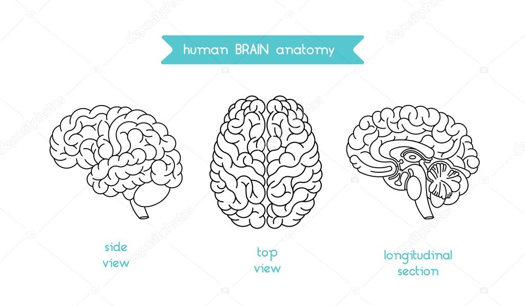 Anatomía del cerebro set 3 — Archivo Imágenes Vectoriales ...