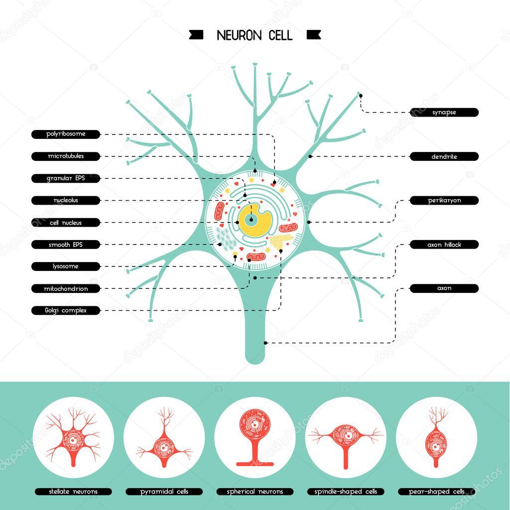 Neurone Zellstruktur — Stockvektor © shopplaywood #120588014