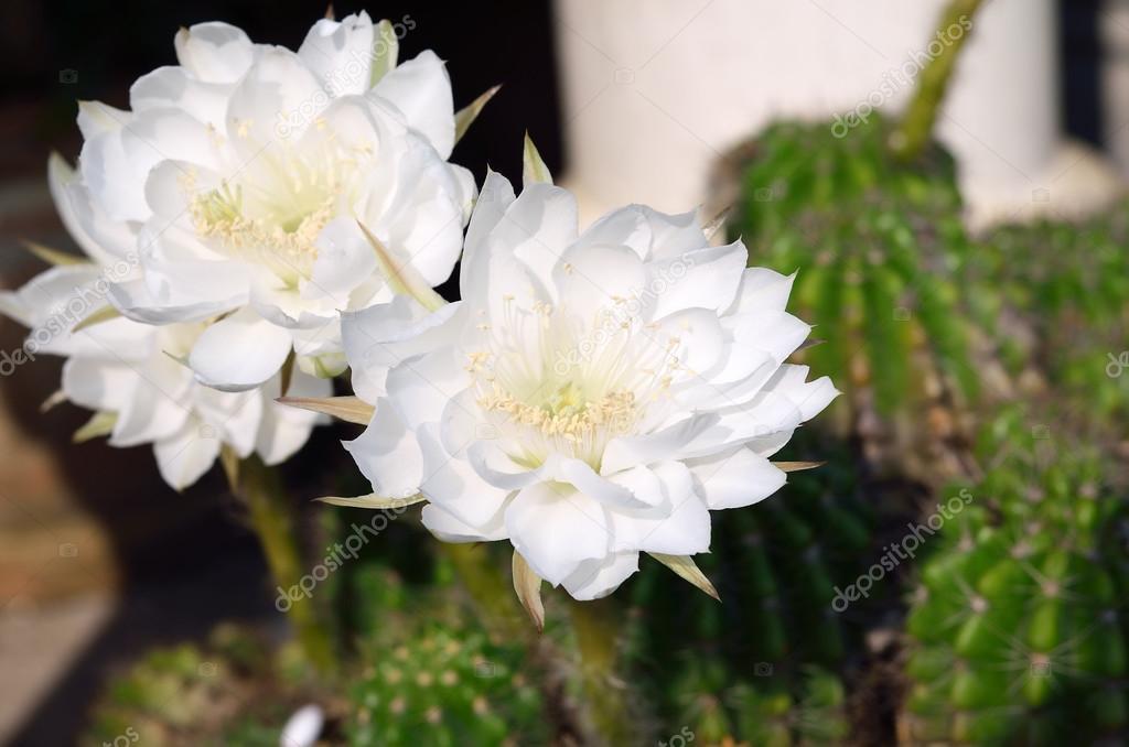 Schöne weiße Kaktusblüte in Thailand — Stockfoto © khumthongonline ...