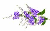 fialové květy izolovaných na bílém pozadí