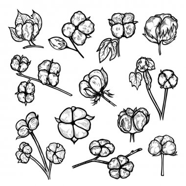 Cotton plant flowers hand drawn set. Branches of bolls with soft, fluffy staple fiber, gossypium and leaves. Botanical ink sketch vector illustration isolated on white for packing design, print. icon