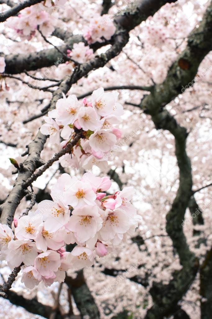 Schönen Frühling Sakura Blüte Blüten auf einem Baum Yoshino ...