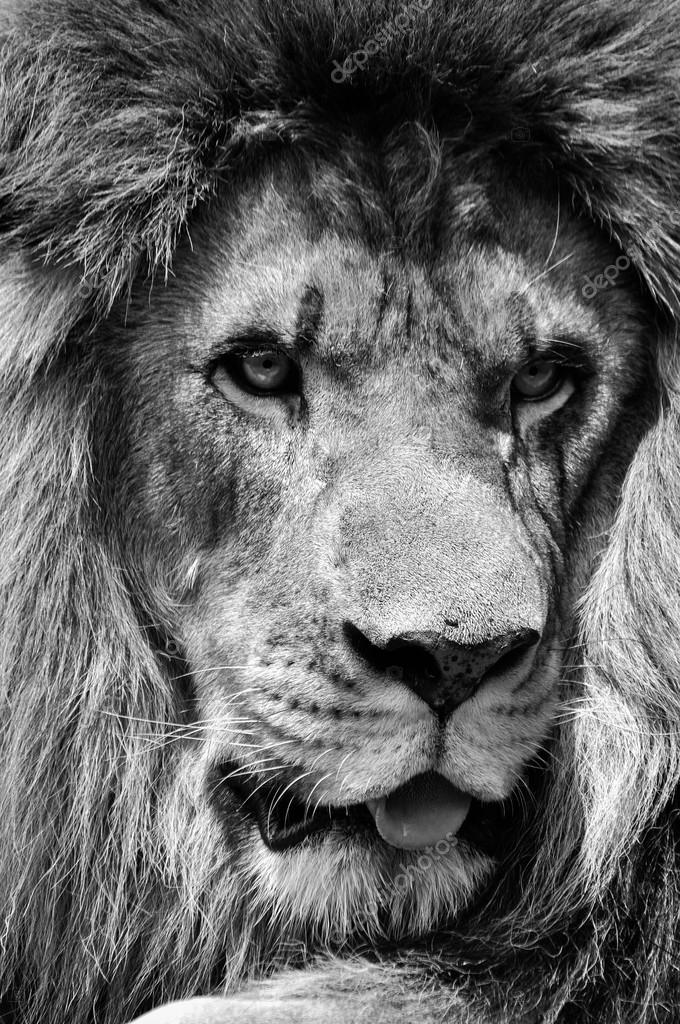 Powerful black and white male lion face closeup in high ...