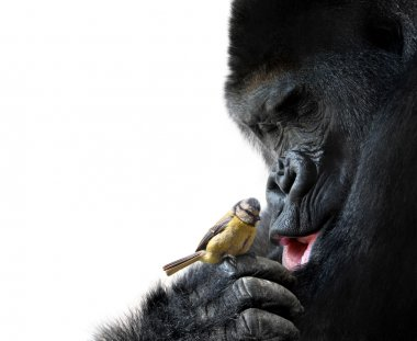 Gorilla showing family-like love to a bird, on white background