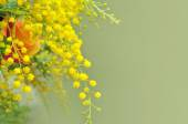 Fotografie Yellow mimosa, the symbol of International Womens Day